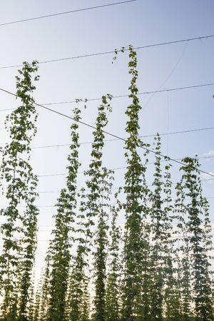 Hops plantation at sunset Stock Photo - 18009980