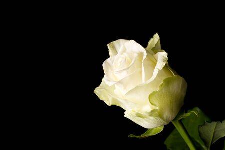close up white rose isolated on black background Stock Photo