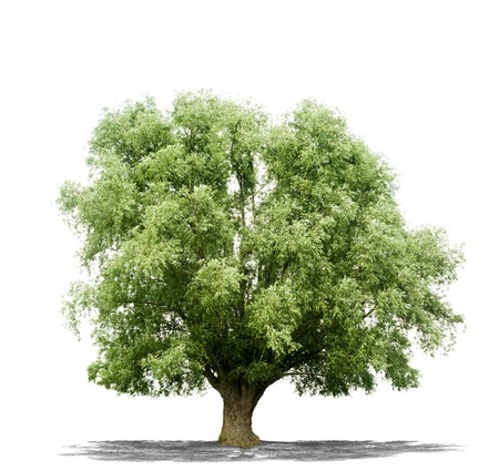 life metaphor:  Beautiful green tree isolated on a white background in high resolution