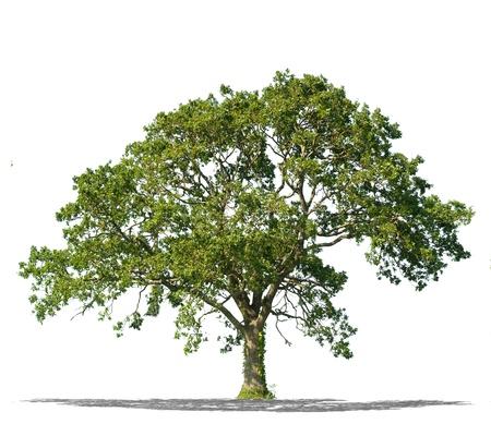 Schöne grüne Baum auf einem weißen Hintergrund in hoher Auflösung isoliert
