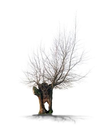 toter baum: Toter Baum auf einem weißen Hintergrund in hoher Auflösung isoliert Lizenzfreie Bilder