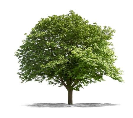Blick auf einen grünen Baum auf einem weißen Hintergrund Standard-Bild