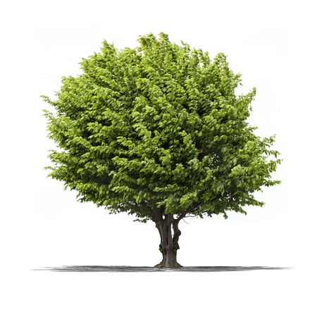 arboles frondosos: Vista de un �rbol verde en un fondo blanco