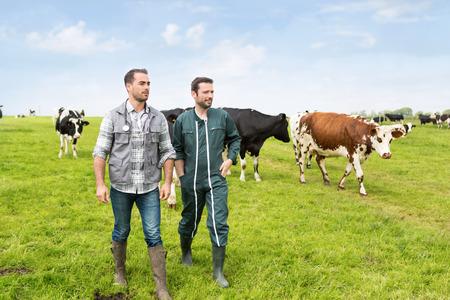 veterinario: Vista de un granjero y veterinarios que trabajan juntos en un masture con las vacas
