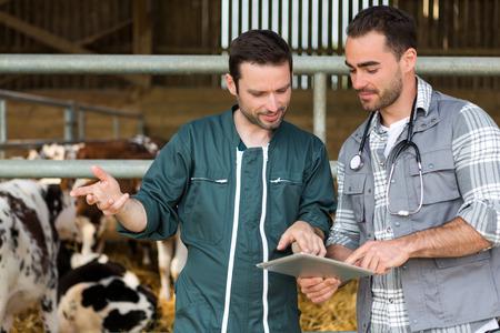 agricultor: Vista de un granjero y veterinarios que trabajan juntos en un granero