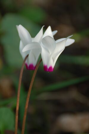 cyclamen: cyclamen twins Stock Photo