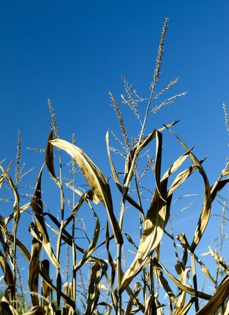 Tall stalks of feed corn ready for harvest Foto de archivo