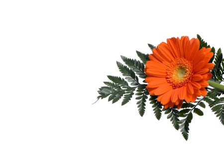 A single orange daisy with a fern background with copyspace.