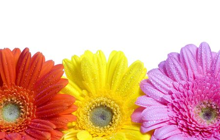 Three colorful Daisies with dew on a white background