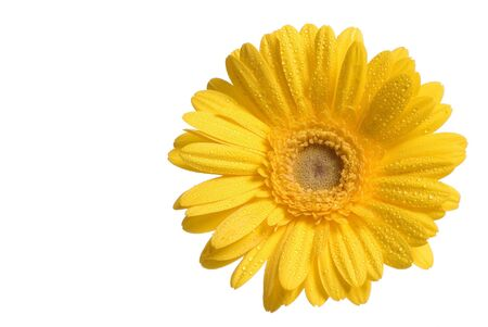 An single yellow flower with dew, isolated on a white background Stock Photo