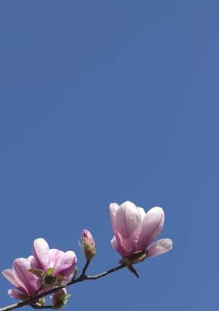A single magnolia branch with blossoms reaches into the deep blue sky. photo