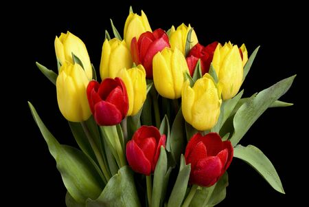 clump: A clump of red and yellow sprintime tulips with dew on them. Isolated on black Stock Photo