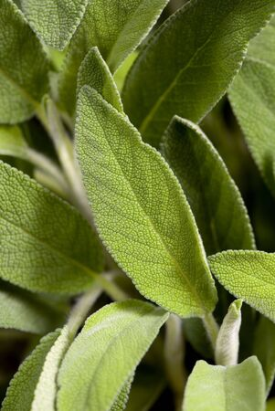 A close up shot of an sage plant used for cooking photo