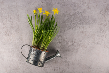 Yellow narcissus flowers in metallic watering can