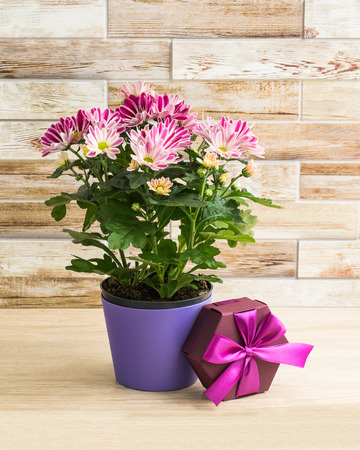 Purple chrysanthemum in a flowerpot with gift box, wooden background 스톡 콘텐츠