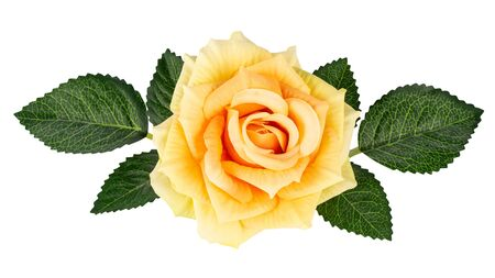 Decorative yellow rose with green leaves isolated on white background 스톡 콘텐츠