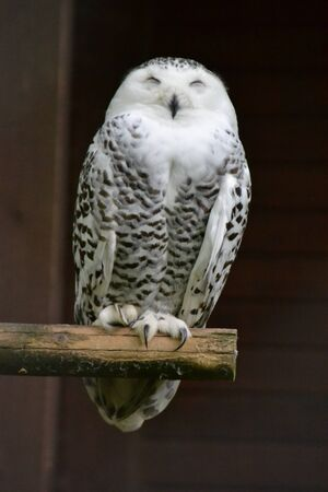 Snowy Owl at the Zoo