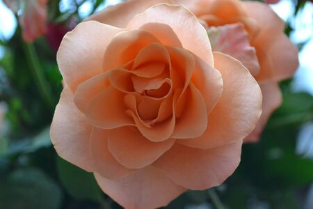beautiful rose flower, great flower for wedding photo