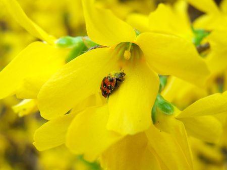 Ladybird on the yellow flower photo
