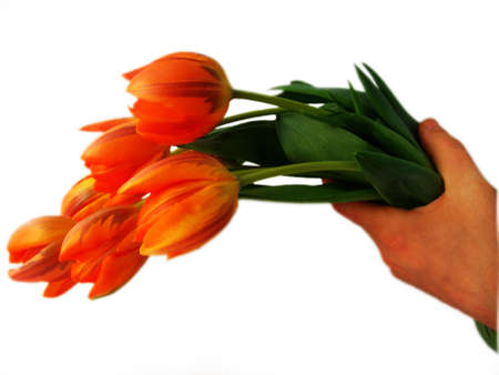 Close up of a hand holding a bunch of tulips, isolated against white. photo