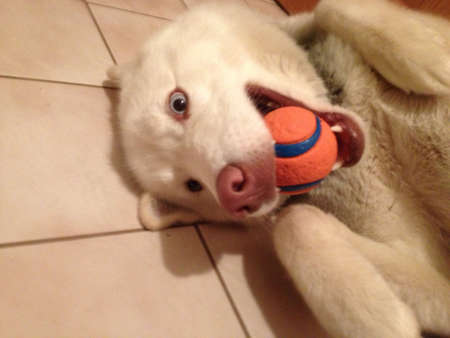My dog playing with his toy ball