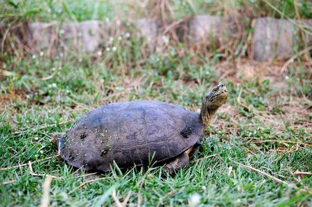 ancient turtles: Turtle walking on green grass