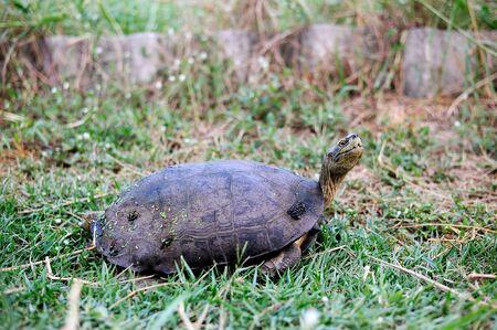 Turtle walking on green grass