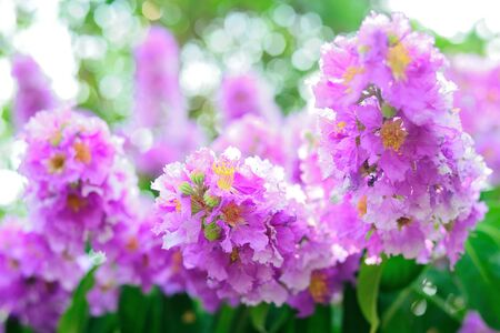 Lagerstroemia pink flowers