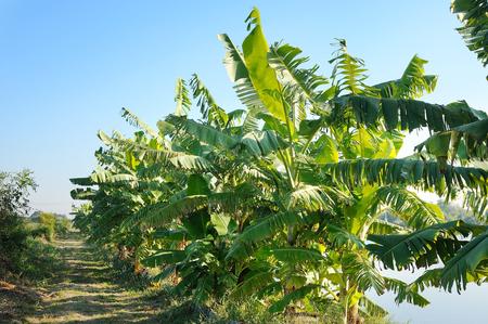 Banana tree plantation Stok Fotoğraf