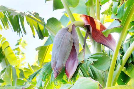 Red banana blossom 版權商用圖片 - 51245156