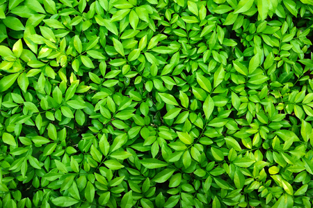 Green leaves background Фото со стока - 51245159
