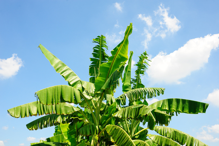 Banana tree on light blue sky and clouds background