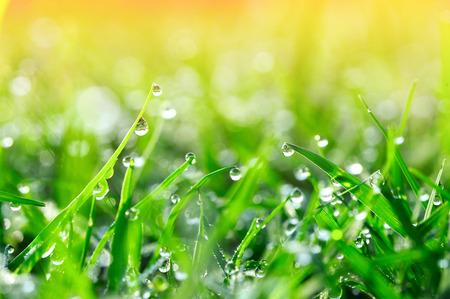 Beautiful dew on green grass with sun rays and green natural background in morning 版權商用圖片