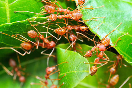 Red ants build nest from leaves