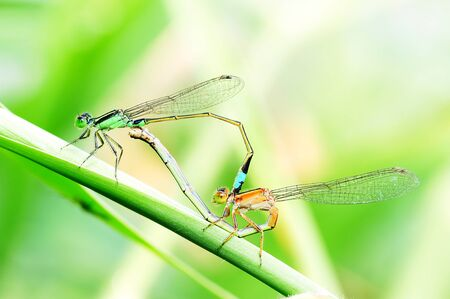 Breeding of dragonfly in nature, Macro photo