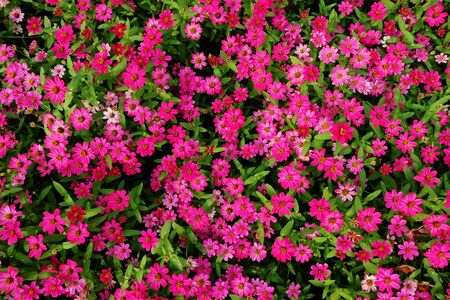 Beautiful pink flowers in garden, top angle view.