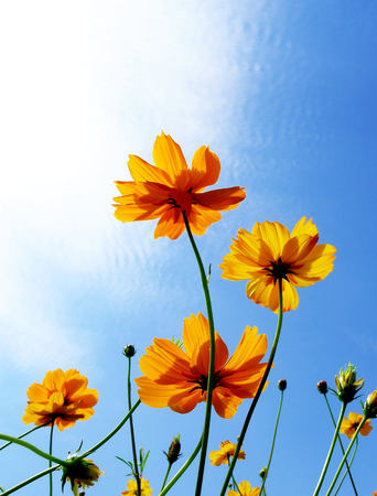 colorful cosmos flowers on blue sky with sunlight background