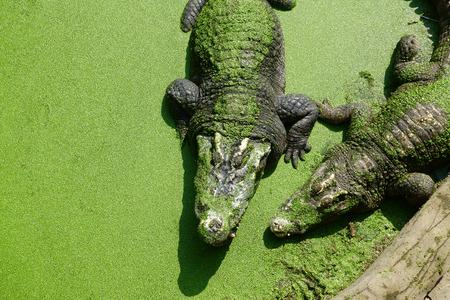Crocodile on pond 版權商用圖片
