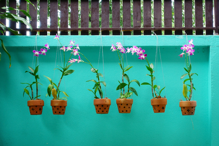 Orchids in a brown baked clay pot hanging on light green fence background 版權商用圖片