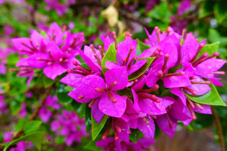 purple bougainvillea flower with raindrop background 版權商用圖片