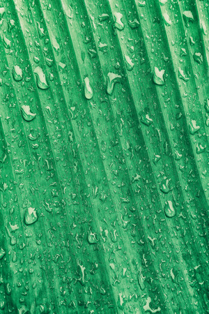 banana leaf with droplet, striped of nature green background 版權商用圖片 - 90517794