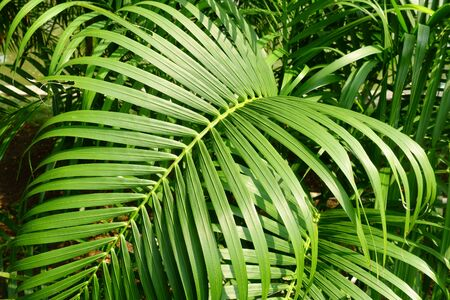 Tropical palm leaves texture, nature background
