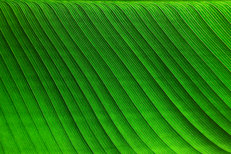 Tropical banana palm leaf texture background