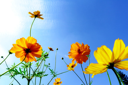 colorful cosmos flowers on sky background with clouds, low angle view. 版權商用圖片