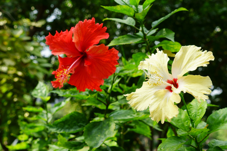 red and yellow hibiscus flower blooming on dark green leaf nature background 版權商用圖片