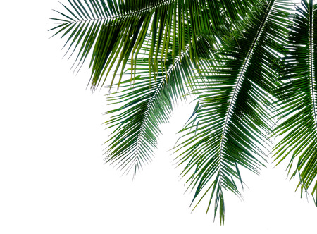 Tropical coconut palm leaf isolated on white background for elements design