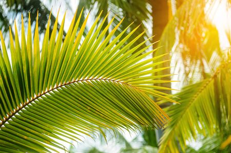 coconut leaves, nature background