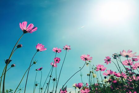 cosmos flower blooming in field and sunlight background 版權商用圖片