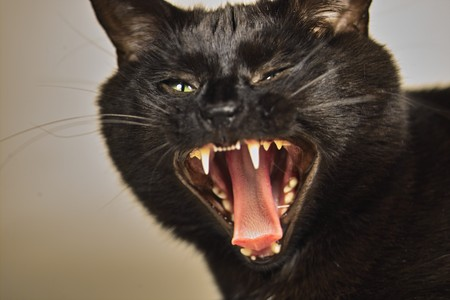 aggressive: angry cat Stock Photo