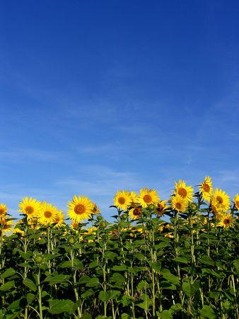 de un campo de girasoles y un cielo azul